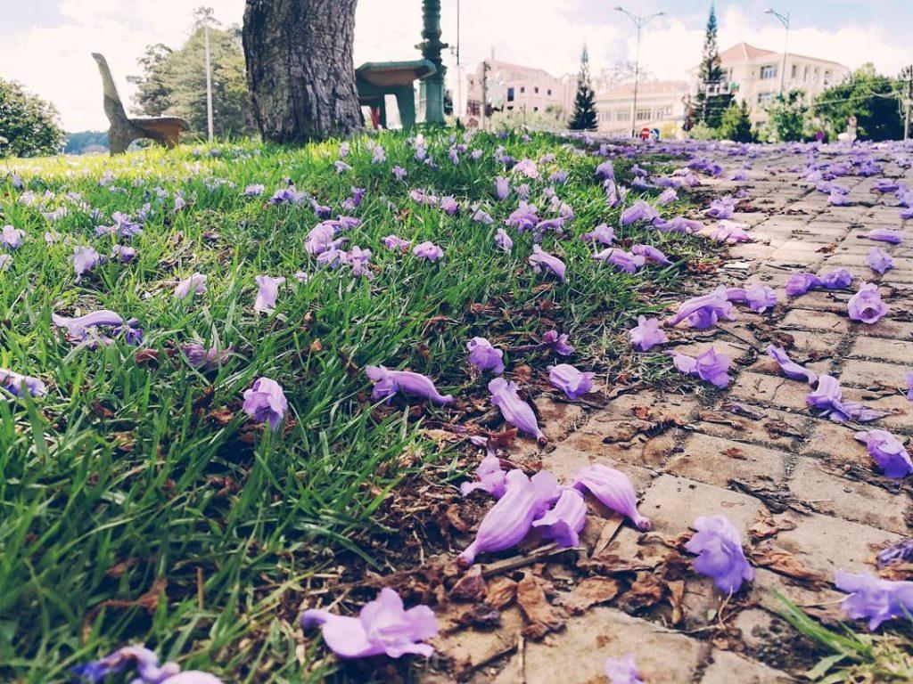 Hoa phượng tím gây thương nhớ
