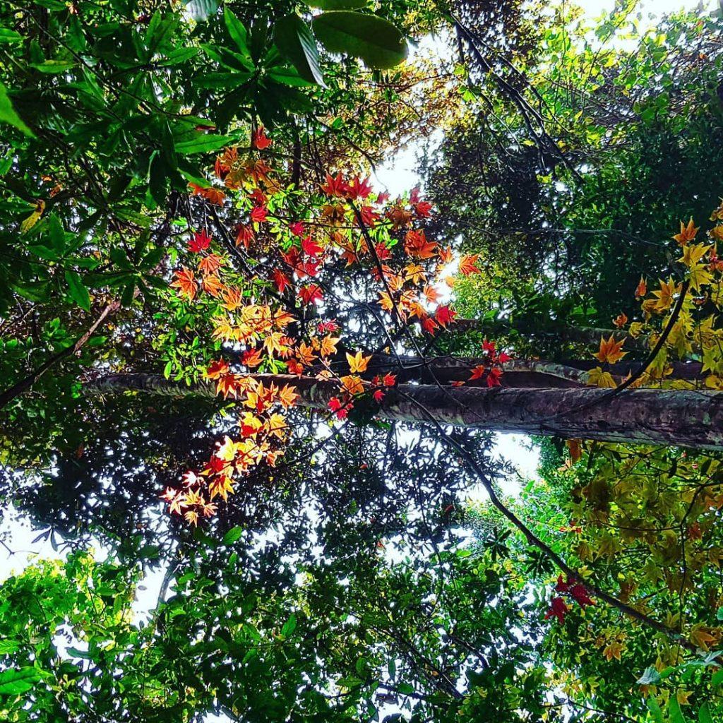 Rừng phong thay lá ở Đà Lạt