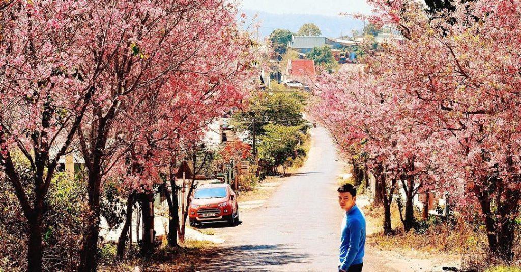Hoa mai anh đào Đà Lạt nở rộ vào mùa xuân