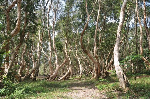 Rừng cây tràm nước cổ thụ