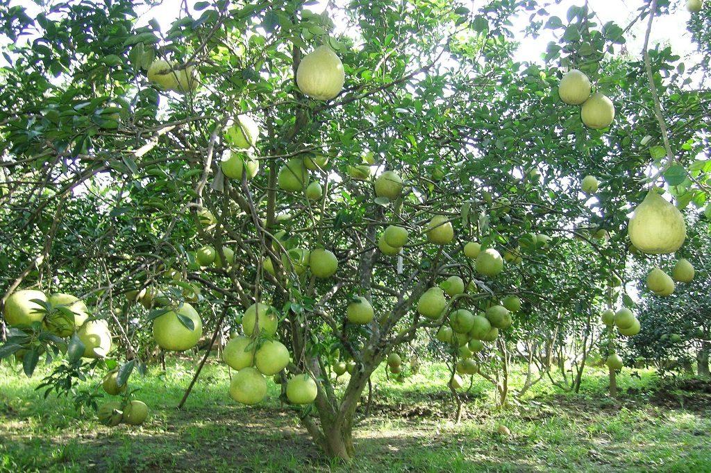 Trái cây xum xuê tại Miệt vườn Cái Bè